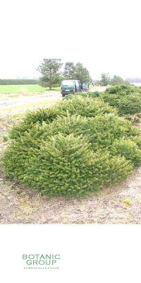 Picea abies Pumila Glauca - Pummelfichte