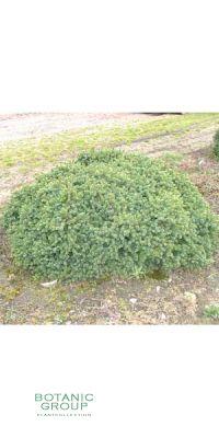 Picea glauca Echiniformis - Blaue Igelfichte
