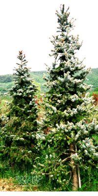 Picea pungens Koster - Blauchfichte XXL