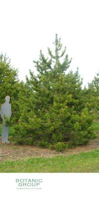Pinus contorta - Drehkiefer