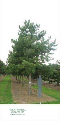 Pinus nigra Austriaca - Pine Austrian XXL
