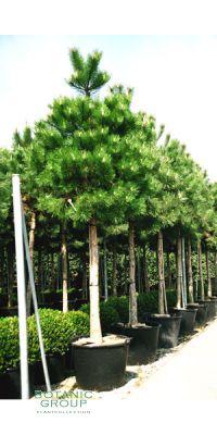 Pinus nigra Austriaca - Österreichische Schwarzkiefer