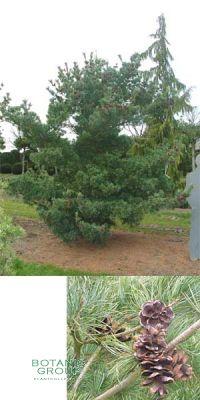 Pinus parviflora Glauca - Blue Needled Japanese White Pine