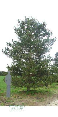 Pinus peuce - Mazedonische Kiefer