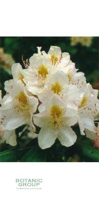 Rhododendron - Catawbiense Album