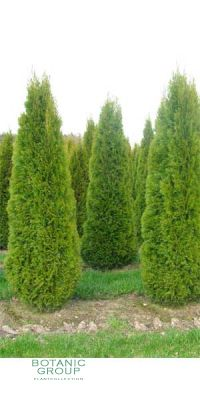 Thuja occidentalis Smaragd - Emerald Green Cedar