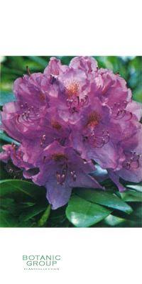Rhododendron - Catawbiense Boursault Grandiflorum