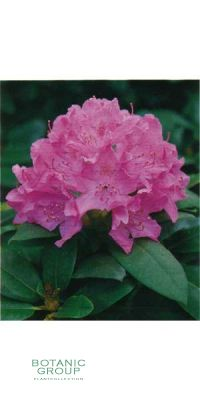 Rhododendron - English Roseum