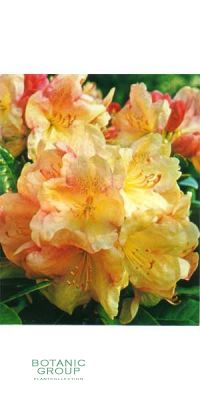 Rhododendron Lachsgold