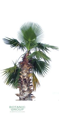 Washingtonia robusta - Petticoat-Palme