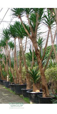Yucca aloifolia - Palmlilie