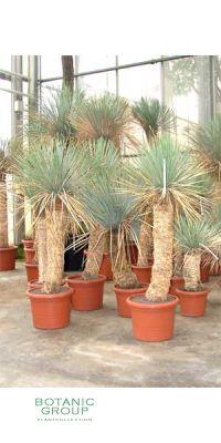Yucca rostrata - Freilandyucca
