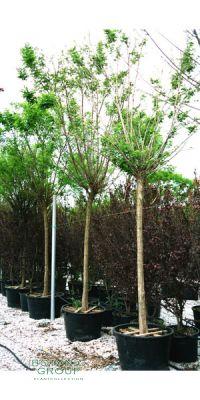 Robinia pseudoacacia Umbraculifera - Gewöhnliche Robinie