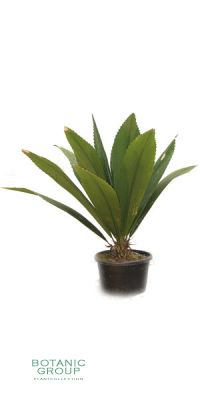 Johannesteijsmannia magnifica - Johannismania - Silber-Joey-Palm