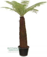 Dicksonia antarctica - Indonesischer Baumfarn