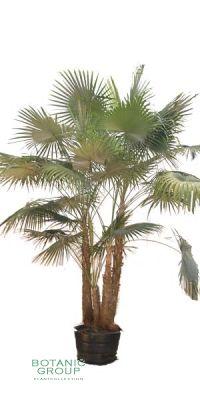 Coccothrinax barbadensis - Puerto Rico Silberpalme