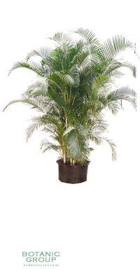 Chrysalidocarpus lutescens - Areca Palme, Goldfrucht Palme