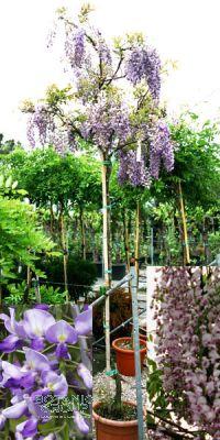 Wisteria sinensis - Chinese wisteria