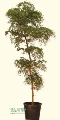 Bucida buceras - Black Olive, Großbaum