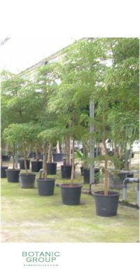 Bucida buceras - Black Olive, Großbaum für Innen