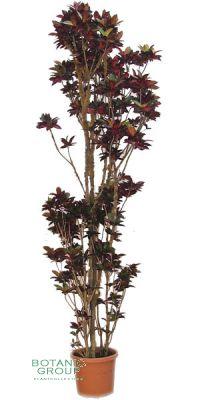 Codiaeum variegatum var. pictum - Croton, Wunderstrauch