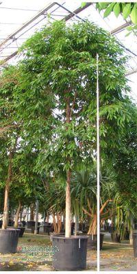 Ficus allii Amstel King - Feigenbaum