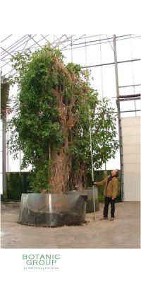 Ficus benjamina - Benjamin tree/Weeping fig