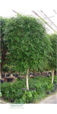 Ficus benjamina Monique