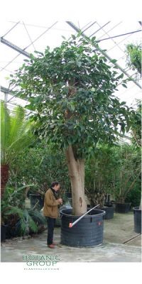 Ficus elastica Decora - Indian rubber tree
