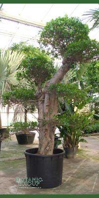 Ficus nitida Bonsai