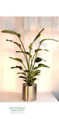 Zimmerpflanze Strelizia nicolai - Riesenstrelitzie