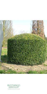 Buxus sempervirens Bullata - Buxus- Zylinder