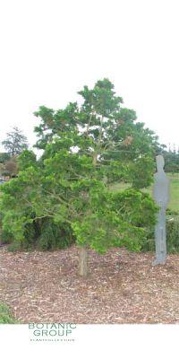 Chamaecyparis obtusa - Hinoki - Scheinzypresse