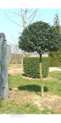Ilex aquifolium Sharpy - Gewöhnliche Stechpalme