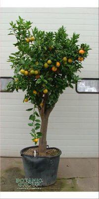 Citrus sinensis - Apfelsinenbaum, Orangenbaum