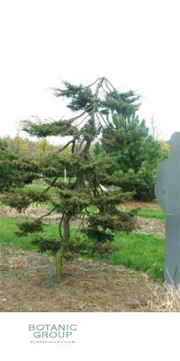 Juniperus communis Hornibrookii - Wacholder - Machandel