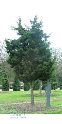 Juniperus virginiana Canaertii - Zypressen - Wacholder