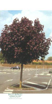 Acer platanoides - Schwarzahorn