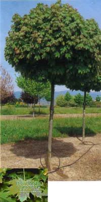 Acer platanoides `Globosum` - Kugelahorn