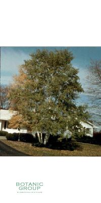 Betula verrucosa `Youngii`- Trauerbirke, Hängebirke