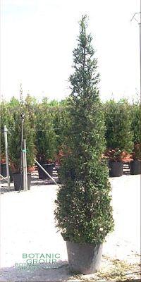 Cupressocyparis leylandii - Grüne Baumzypresse