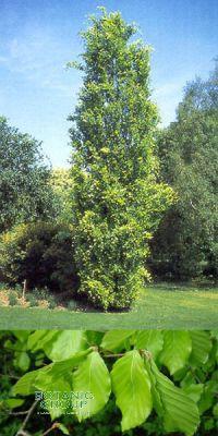 Fagus sylvatica - European Beech