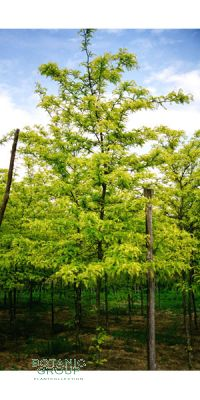 Gleditsia triacanthos inermis - Gleditschie, Lederhülsenbaum