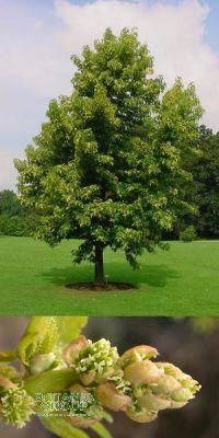 Liquidambar styraciflua - Amerikanischer Amberbaum
