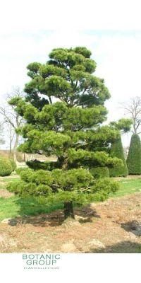 Pinus contorta Compacta Bonsai - Bonsai Kiefer