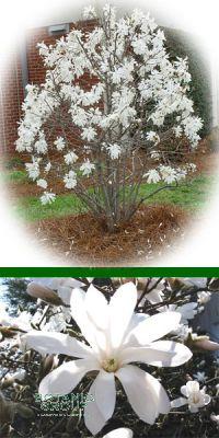 Magnolia stellata - Stern-Magnolie