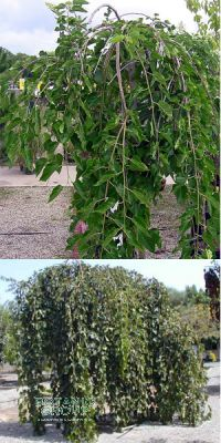 Morus alba `Pendula`- Hänge-Maulbeerbaum