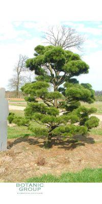 Pinus contorta Compacta Bonsai - Zwerg-Dreh-Kiefer