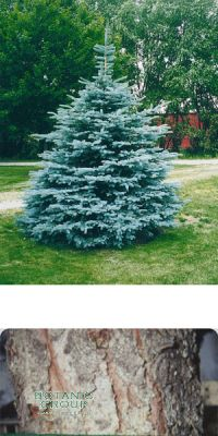 Picea pungens `Koster`
