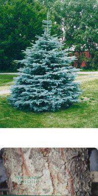 Picea pungens glauca `Koster`- Blaufichte